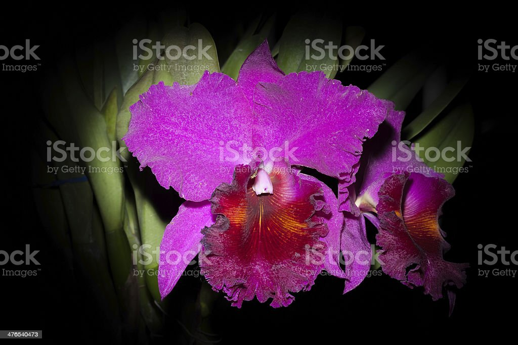 cattaliya orchid stock photo