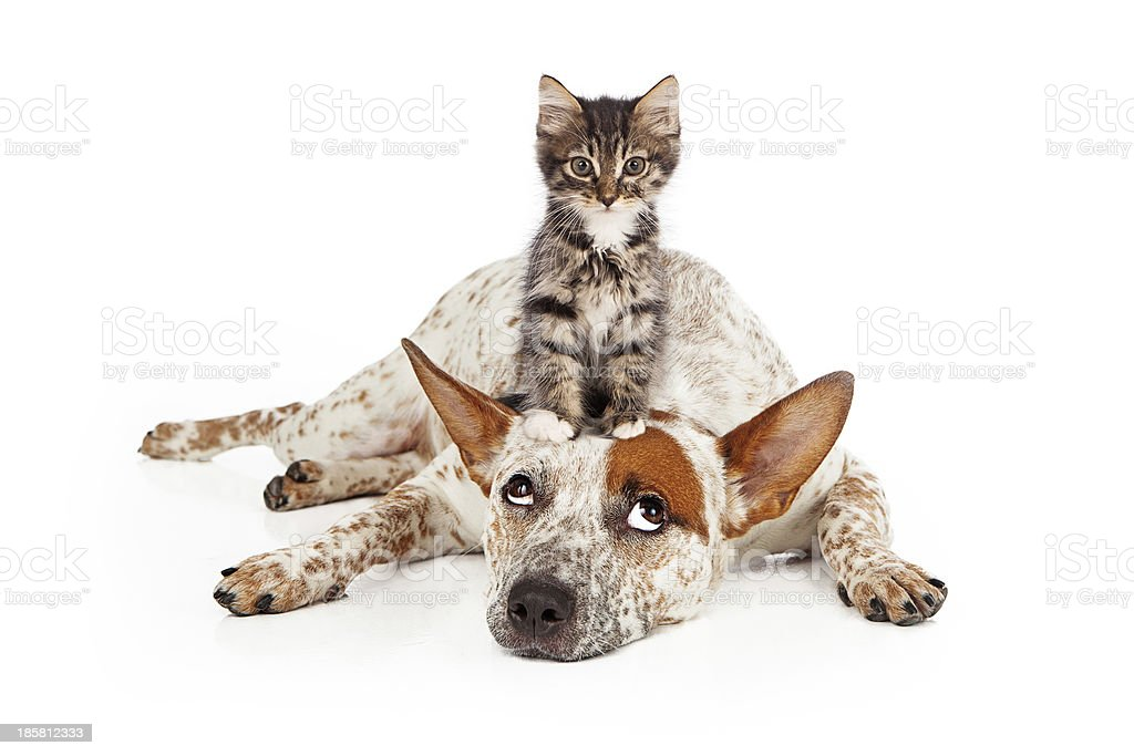 Catte Dog With Kitten on His Head stock photo