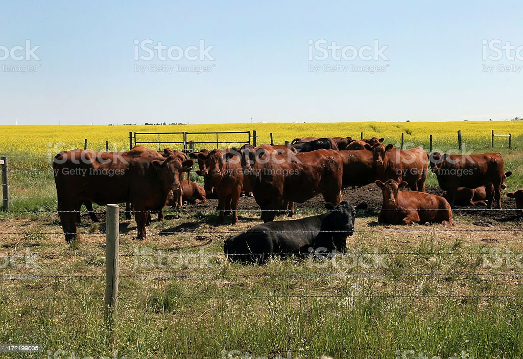 Cattle And Canola royalty-free stock photo