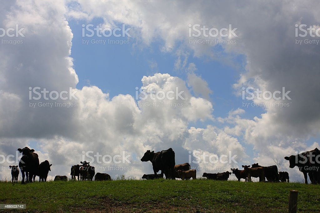 Cattle and Clouds in an Iowa Pasture stock photo