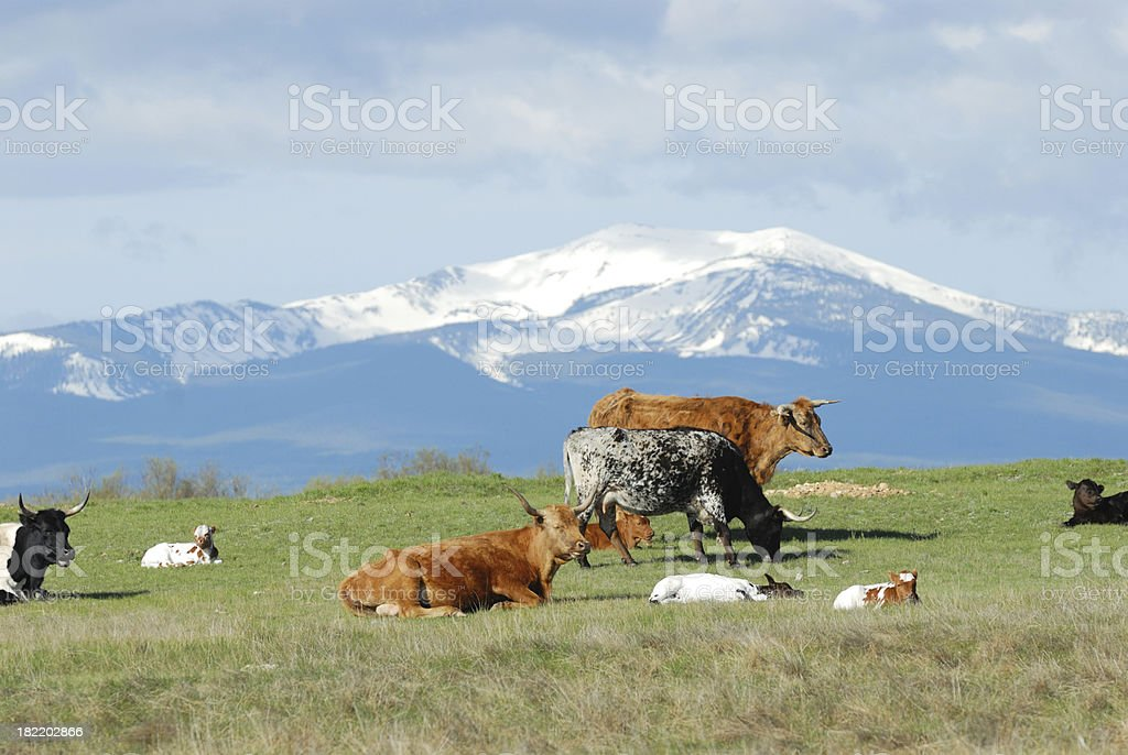 Cattle and Mountains royalty-free stock photo