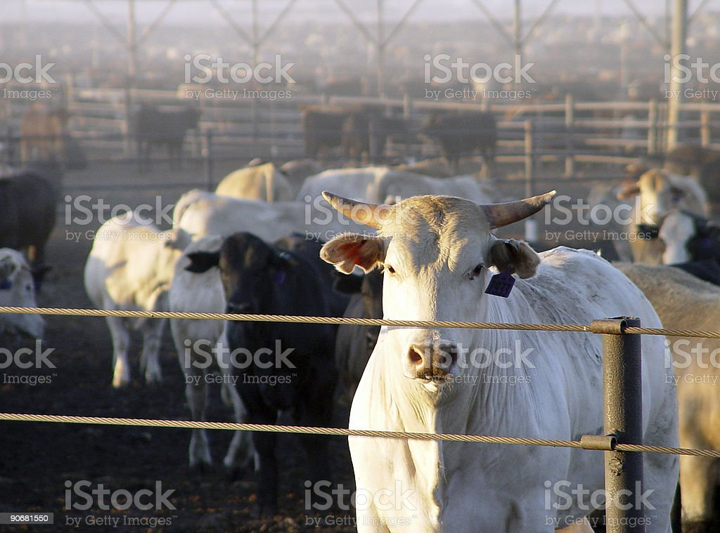 Cattle at a Meat Ranch stock photo
