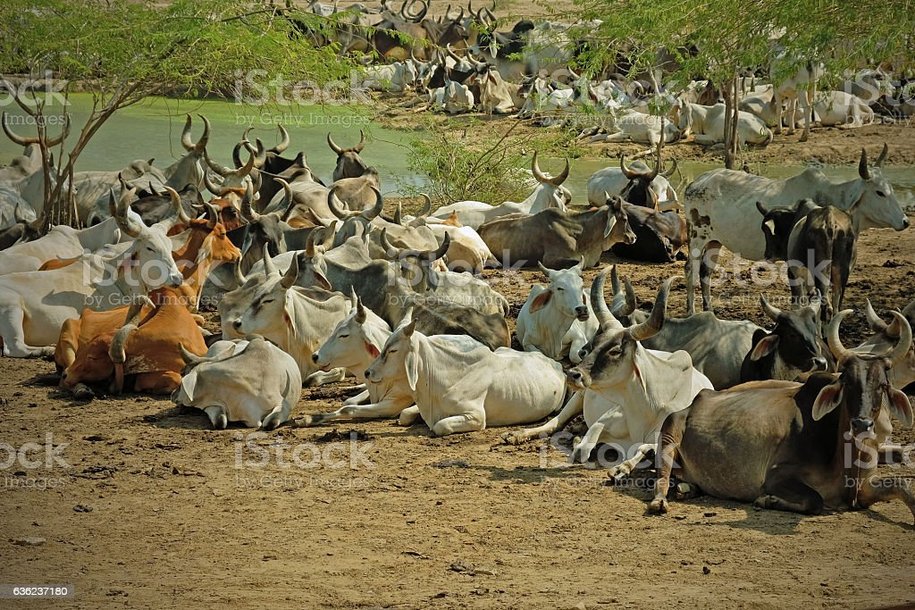 Cattle at an Indian waterhole stock photo