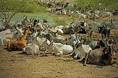 Cattle at an Indian waterhole