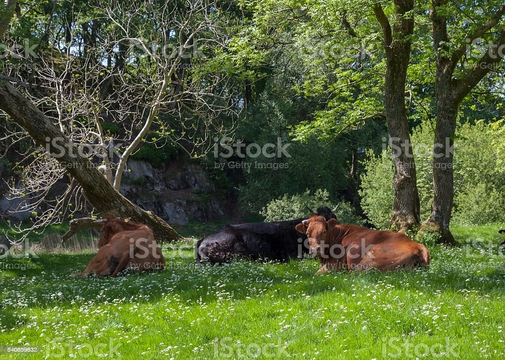 Cattle at Elterwater, The Lake District, Cumbria, England stock photo