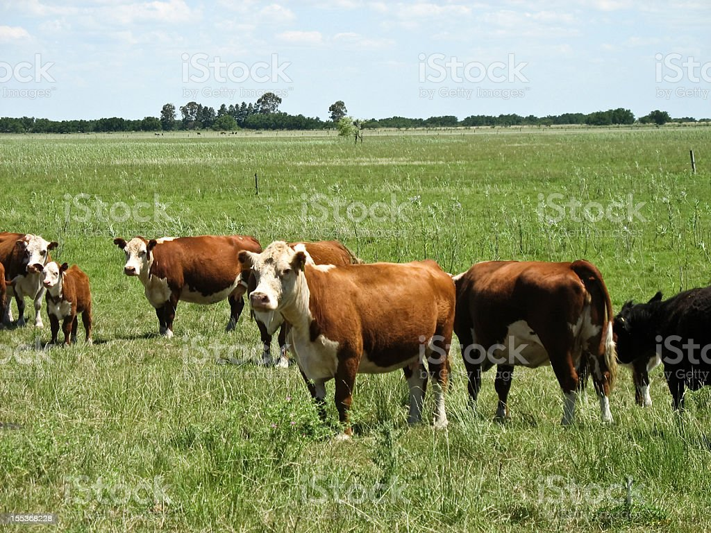 Cattle at filed royalty-free stock photo