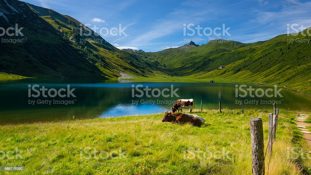 Cattle at lake Tappenkarsee, Austria stock photo