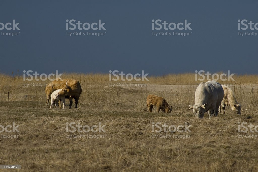 Cattle at seaside pasture 8546 royalty-free stock photo