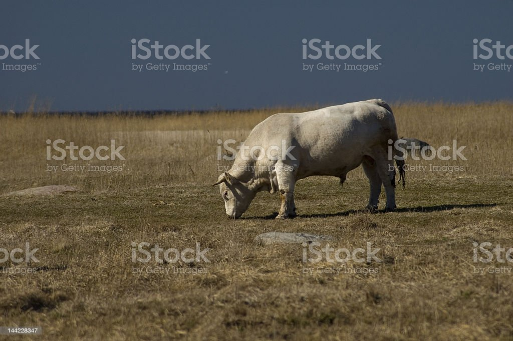 Cattle at seaside pasture 8550 royalty-free stock photo
