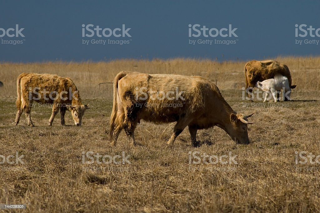 Cattle at seaside pasture 8557 royalty-free stock photo