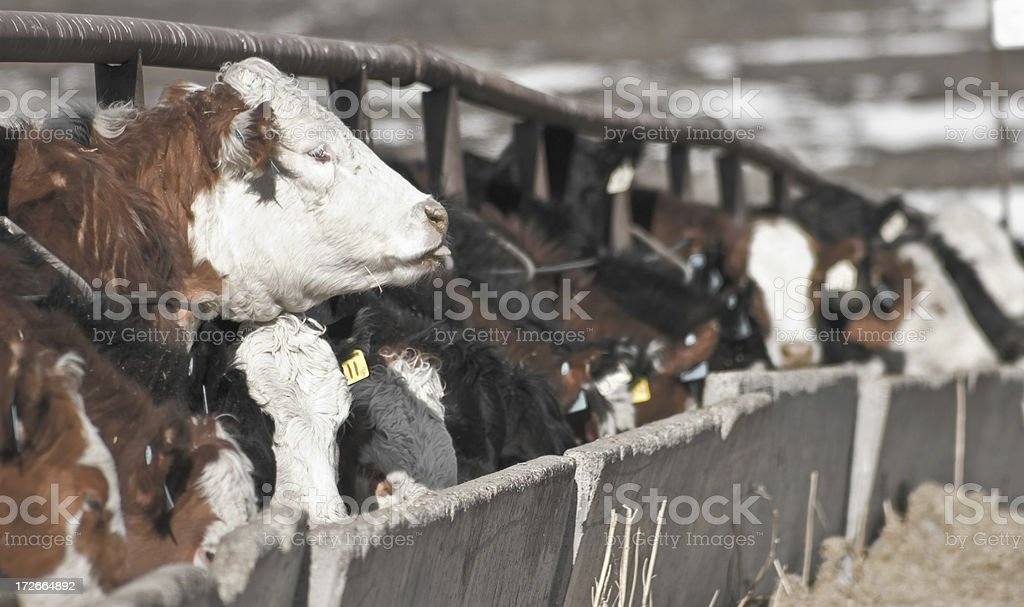 cattle at the trough royalty-free stock photo