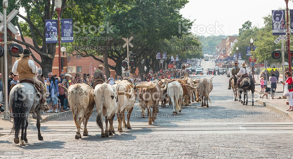 Cattle being driven down street of Forth Worth Stockyards stock photo