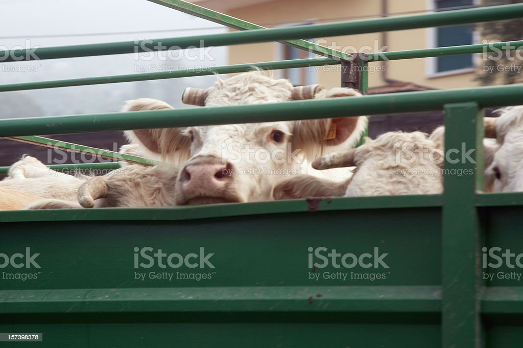 Cattle being driven to market royalty-free stock photo