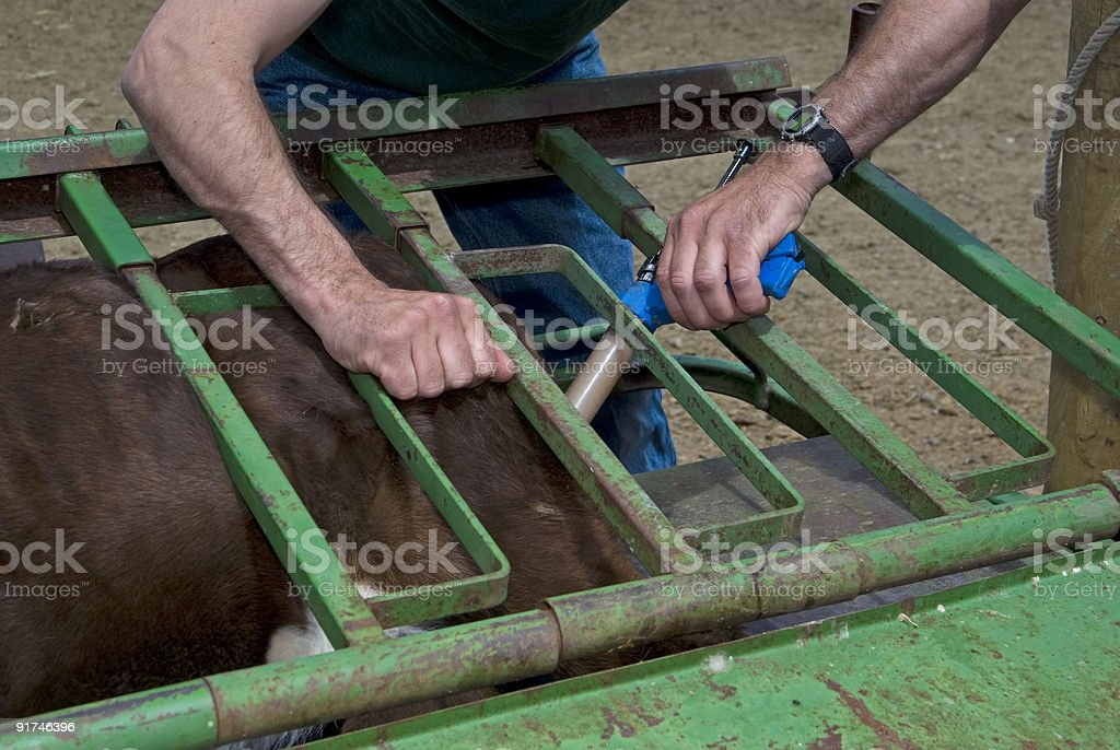 Cattle Branding Activities royalty-free stock photo
