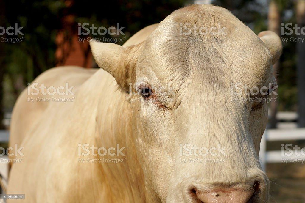 cattle breeder in farm stock photo