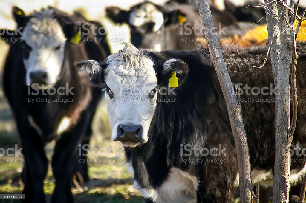Cattle - Cows stock photo