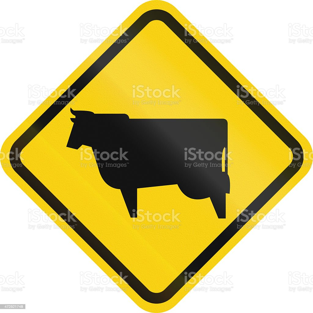 Cattle Crossing In Colombia stock photo