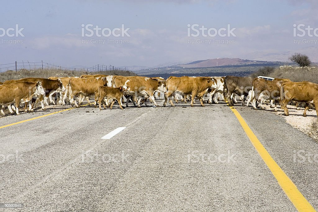 Cattle Crossing royalty-free stock photo