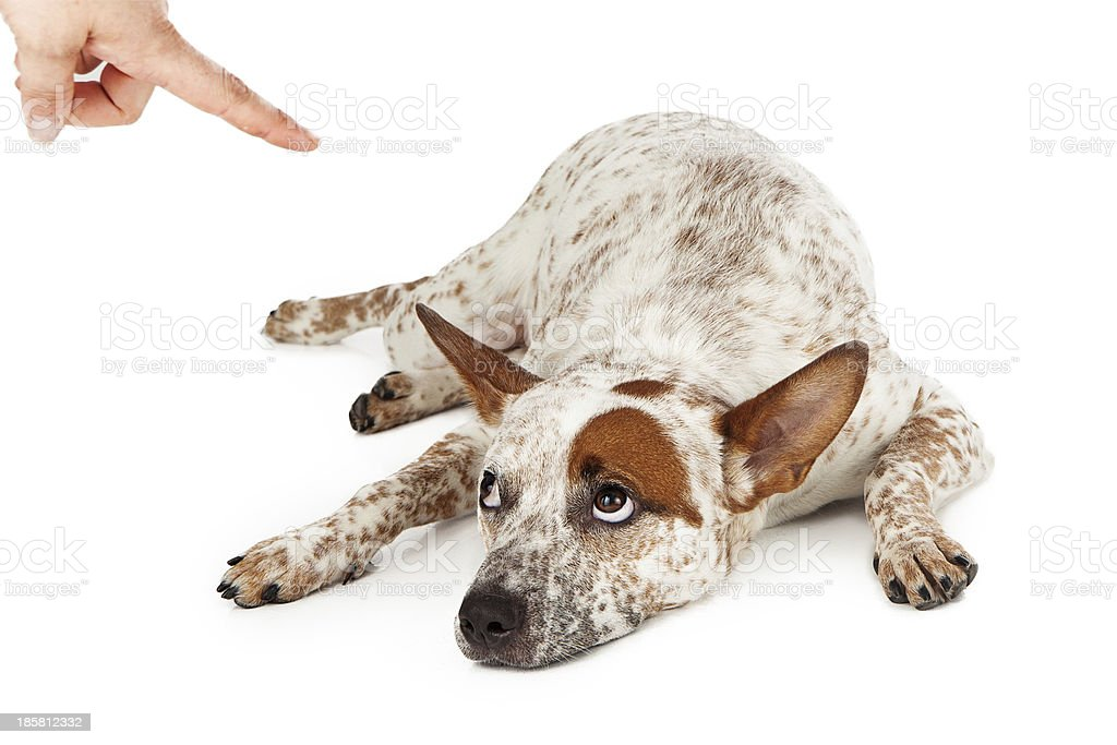 Cattle Dog Being Punished stock photo