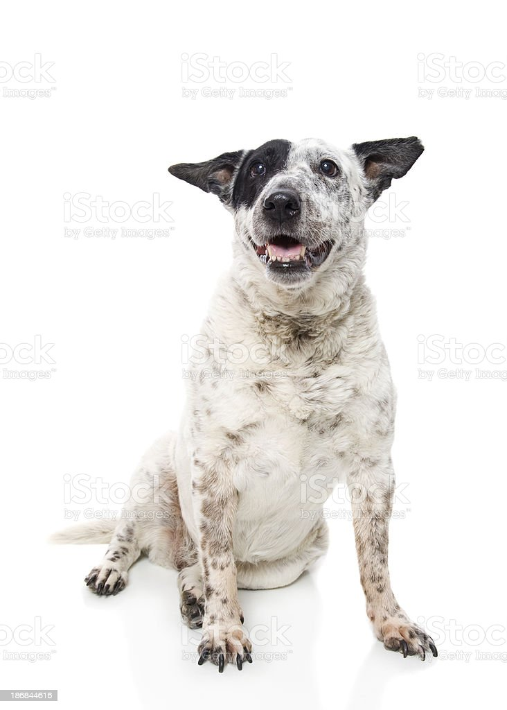 Cattle Dog stock photo