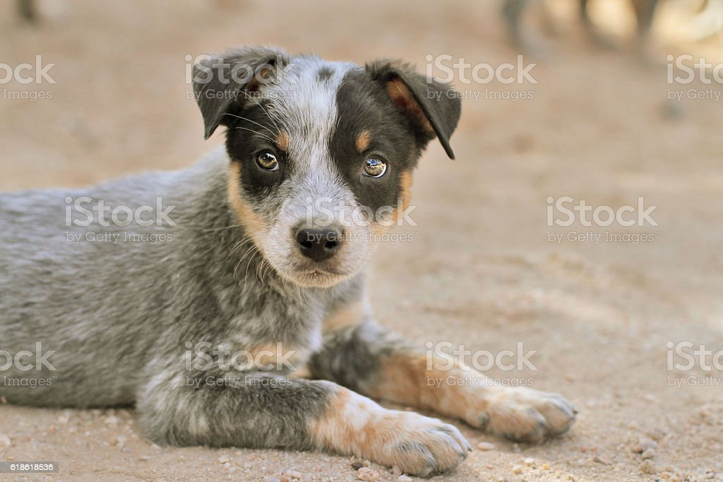Cattle Dog Puppy on dirt stock photo