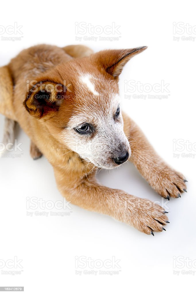 Cattle Dog Puppy stock photo