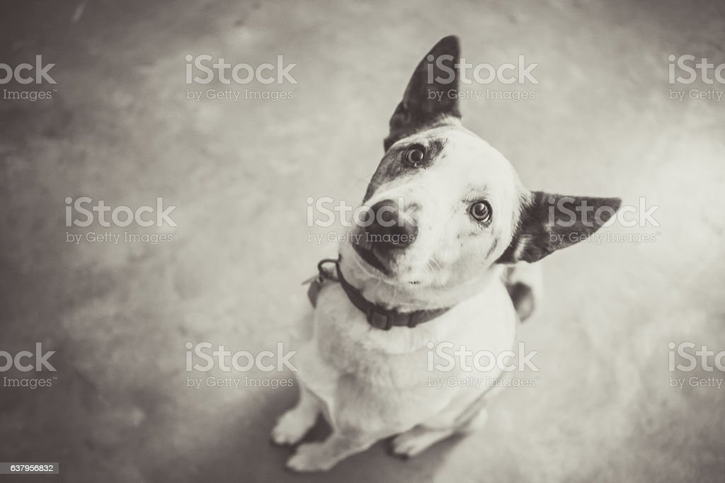 Cattle Dog Sitting And Looking Up stock photo