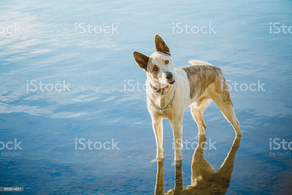 Cattle dog standing in water looking at you stock photo