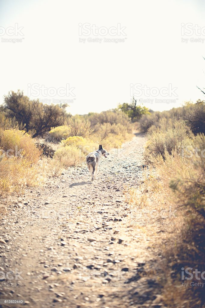 Cattle Dog Walking On Dirt Path In Desert stock photo