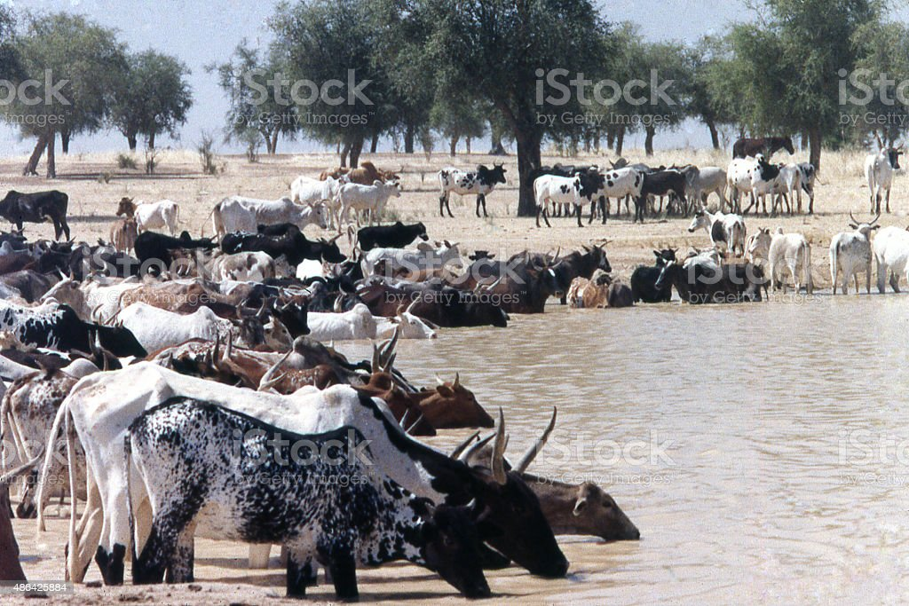 Cattle drinking Sahel watering hole desertification Burkina Faso West Africa stock photo