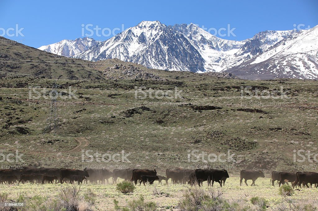 Cattle Drive 1 stock photo