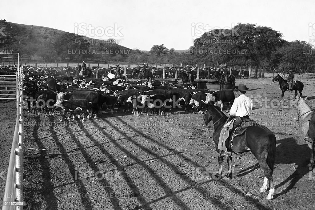 cattle drive 1947 stock photo