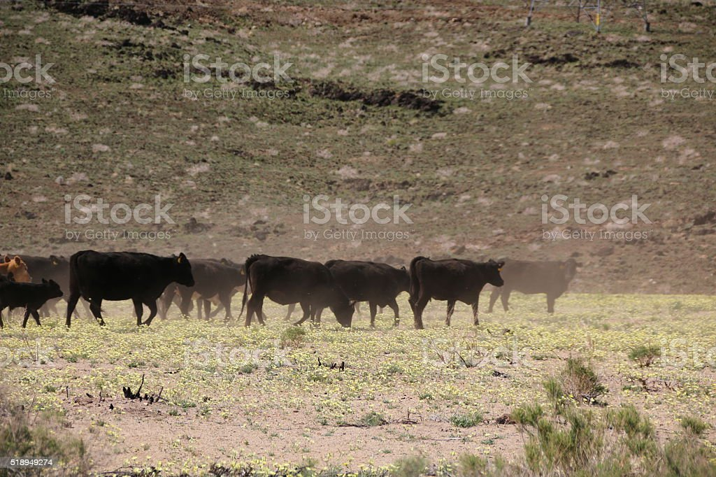 Cattle Drive 2 stock photo