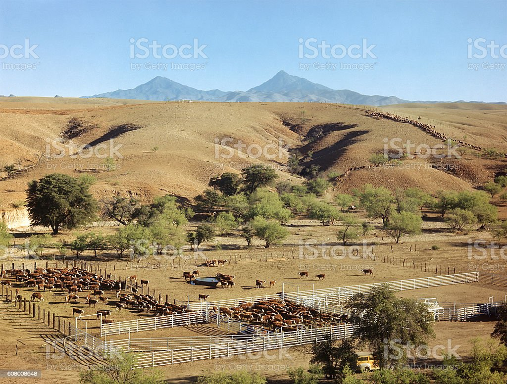 cattle drive, Arizona 1947 stock photo