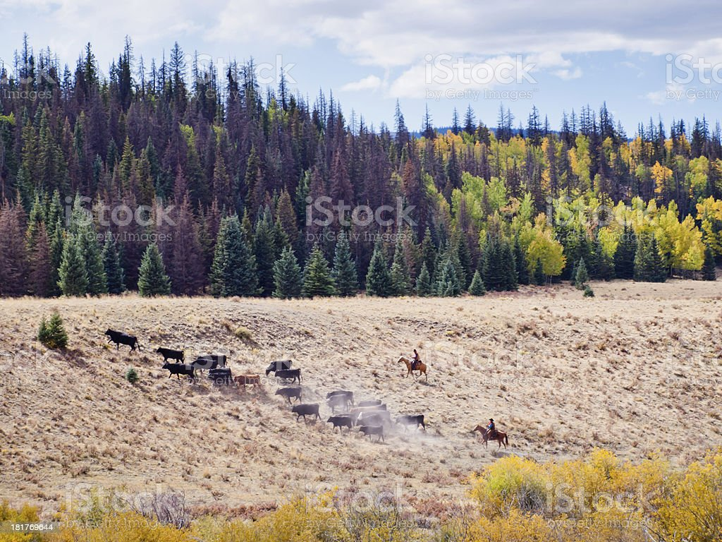 Cattle Drive royalty-free stock photo