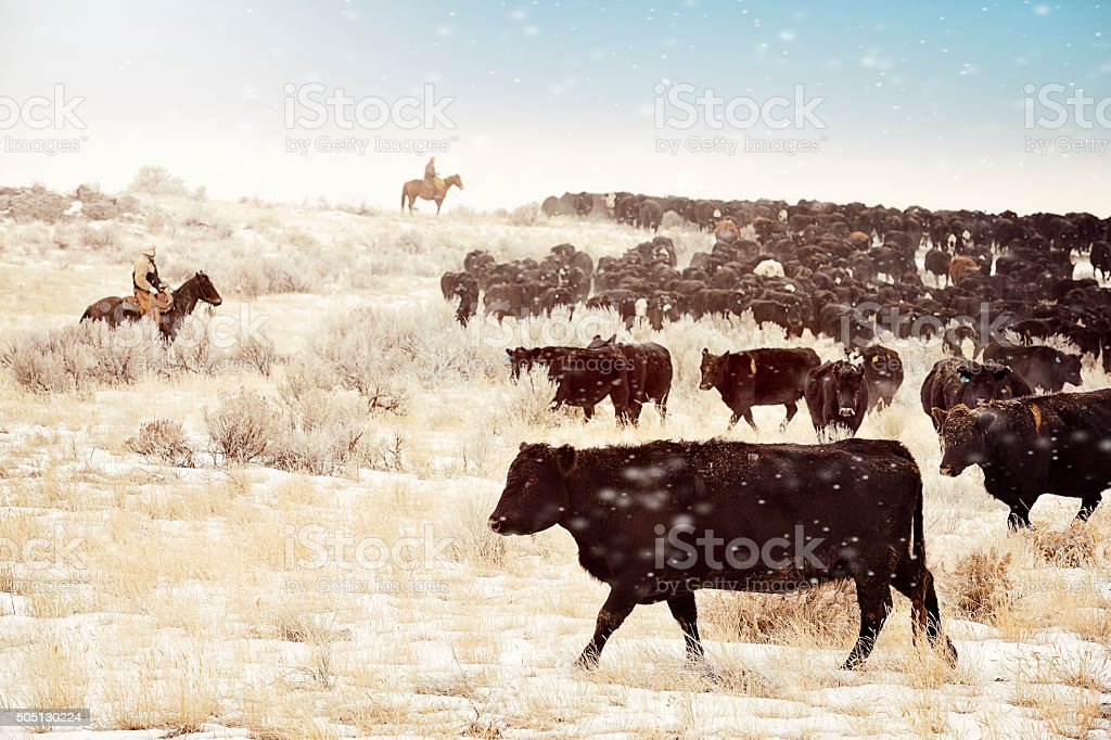 Cattle Drive stock photo