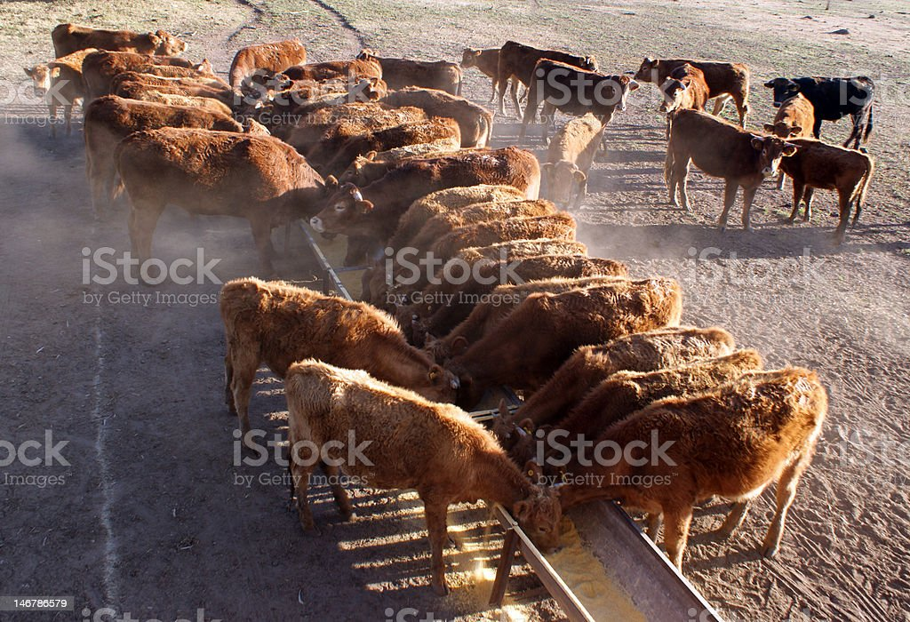 cattle eating royalty-free stock photo