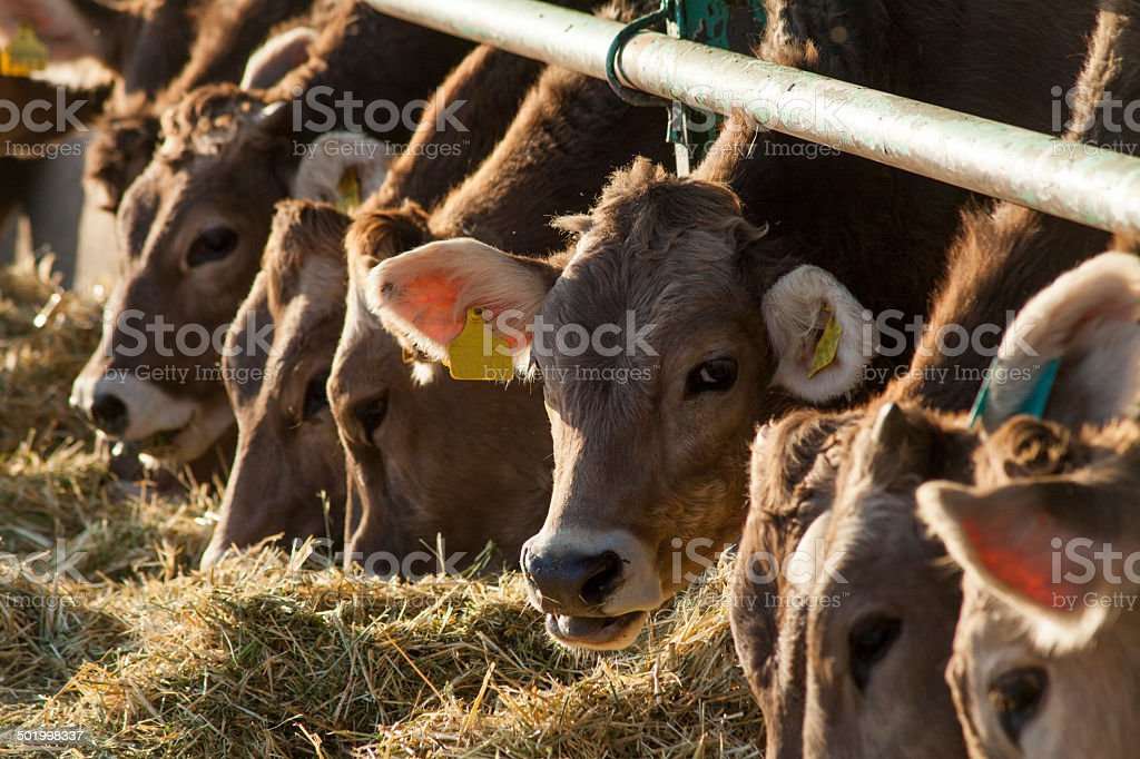 cattle eating stock photo