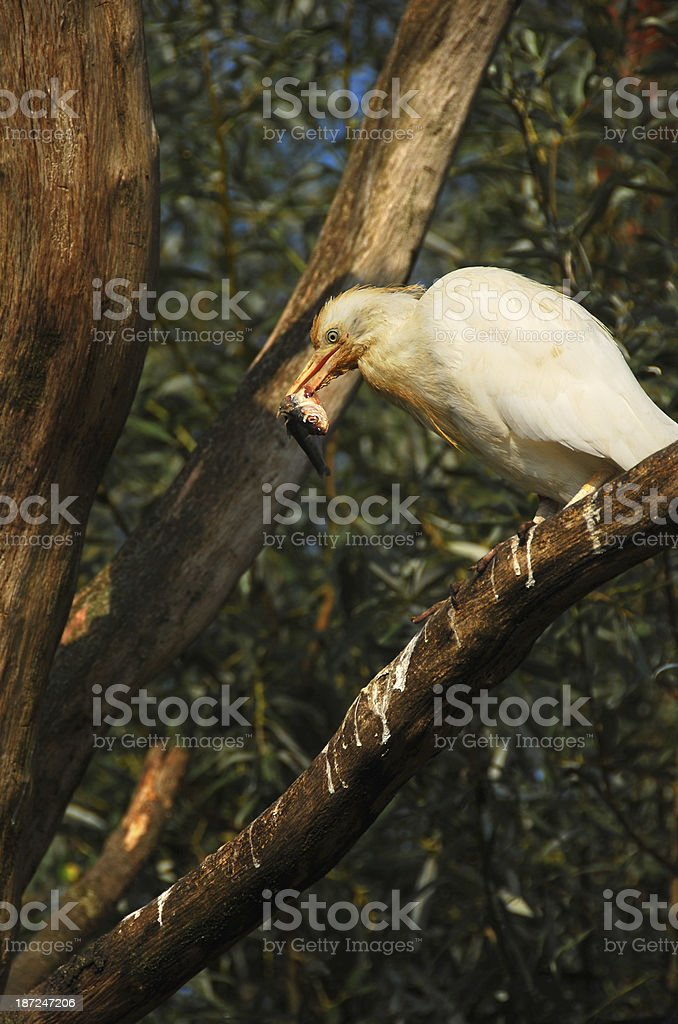 Cattle Egret eating a fish. royalty-free stock photo