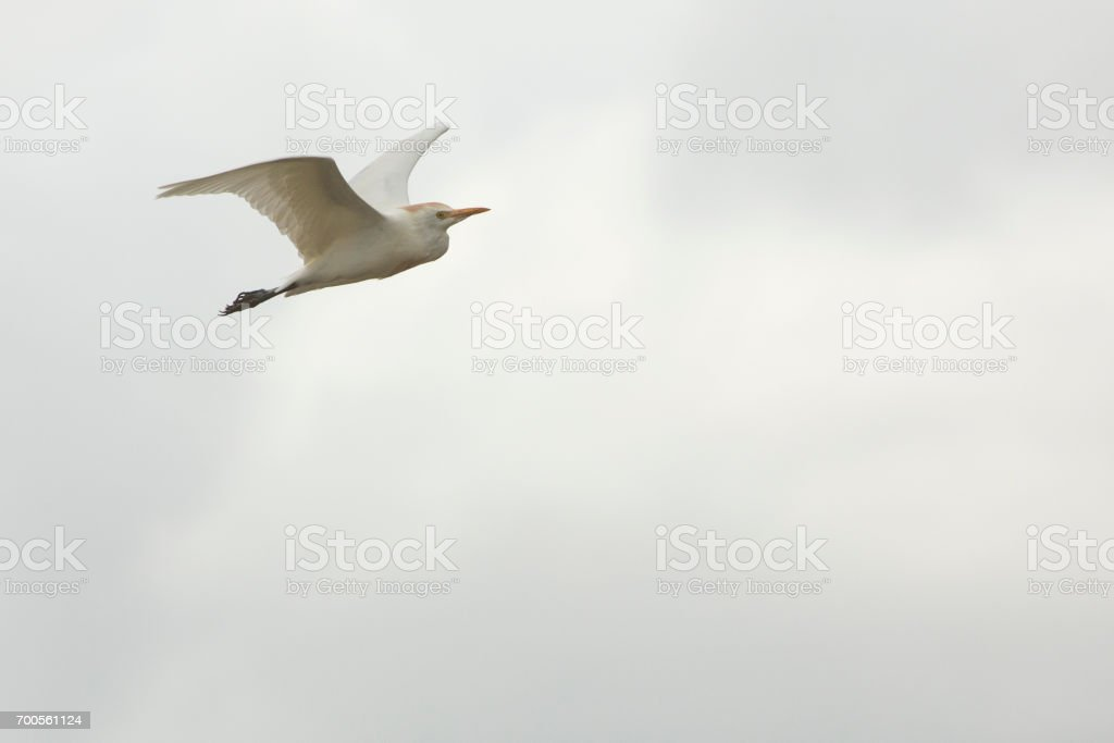 Cattle egret flying in cloudy sky in Orlando Wetlands Park. stock photo