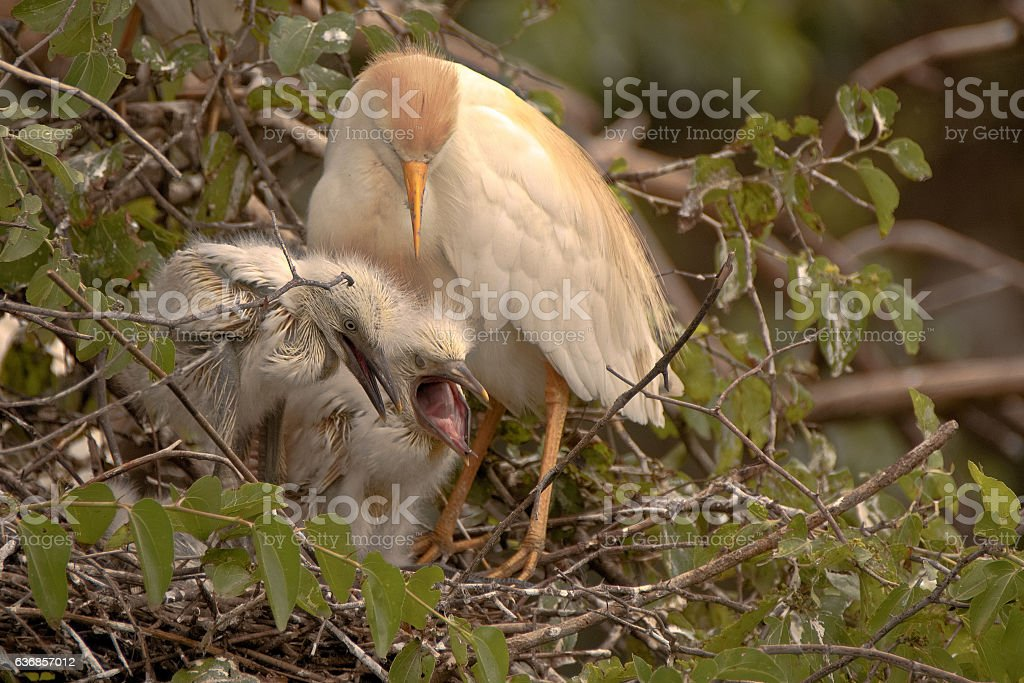 Cattle egret looking on anxiously stock photo