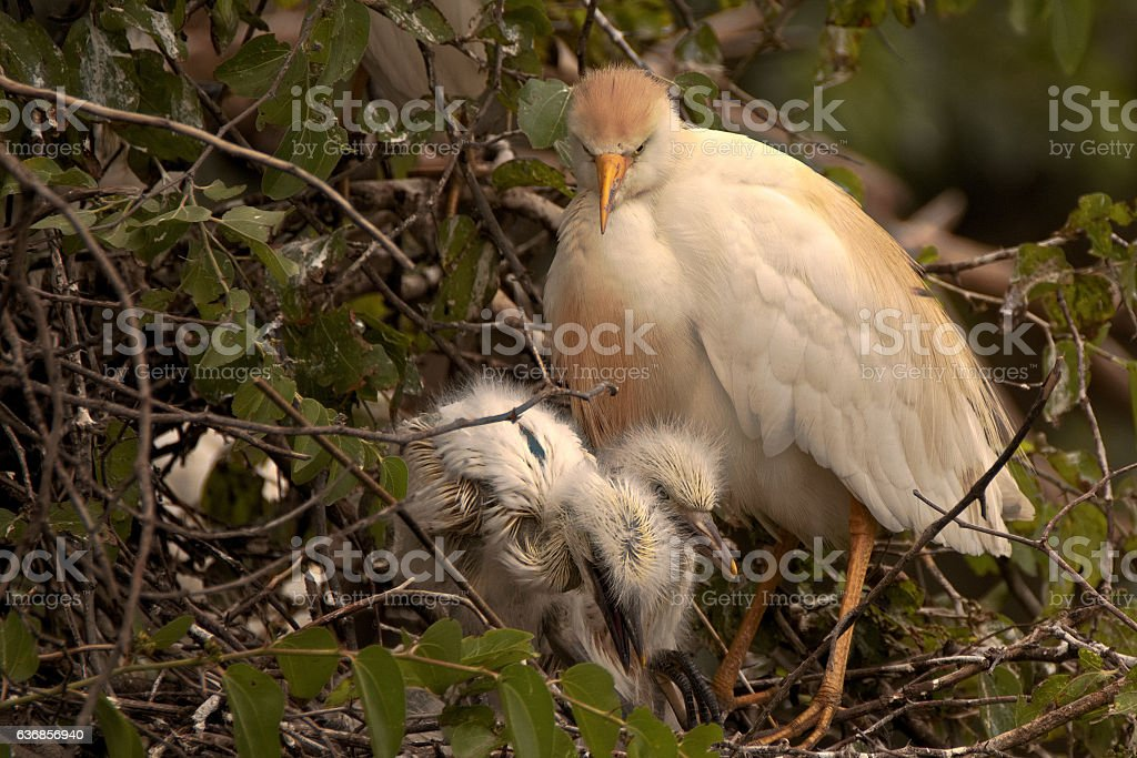 Cattle Egret with two chicks stock photo
