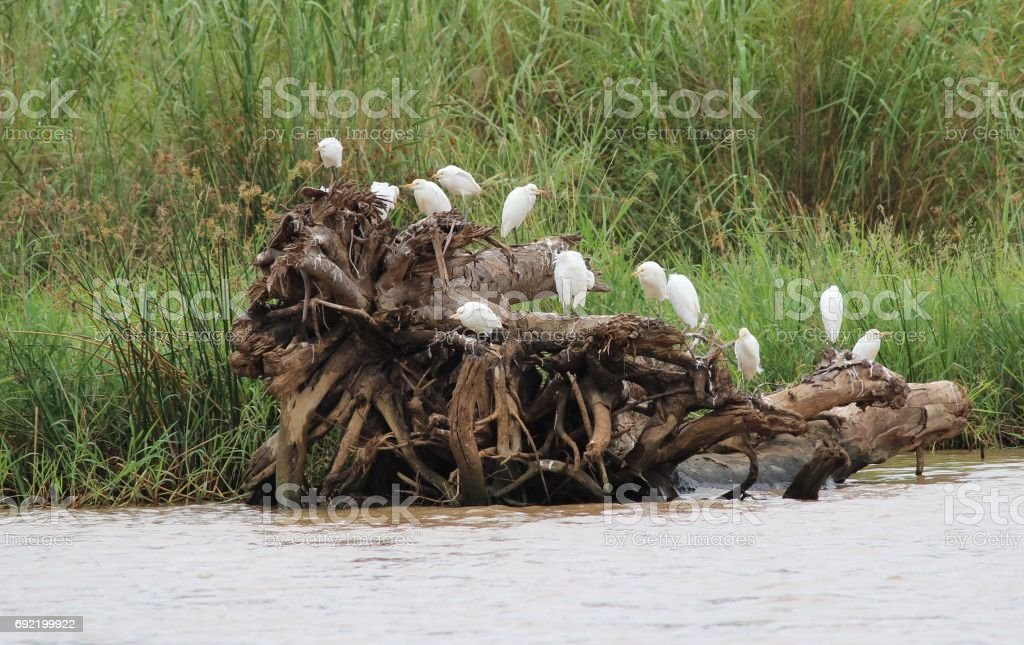 Cattle egrets (Ibis) on tree / groep witte koereigers op boomstam stock photo