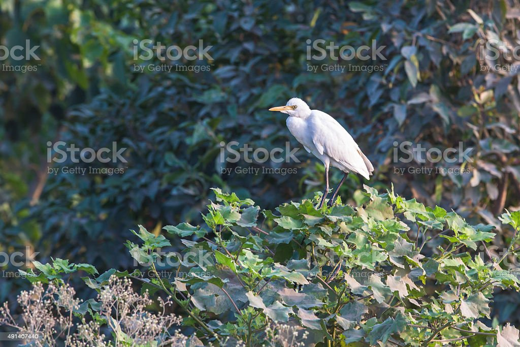 Cattle egrets sitting on a shrub stock photo