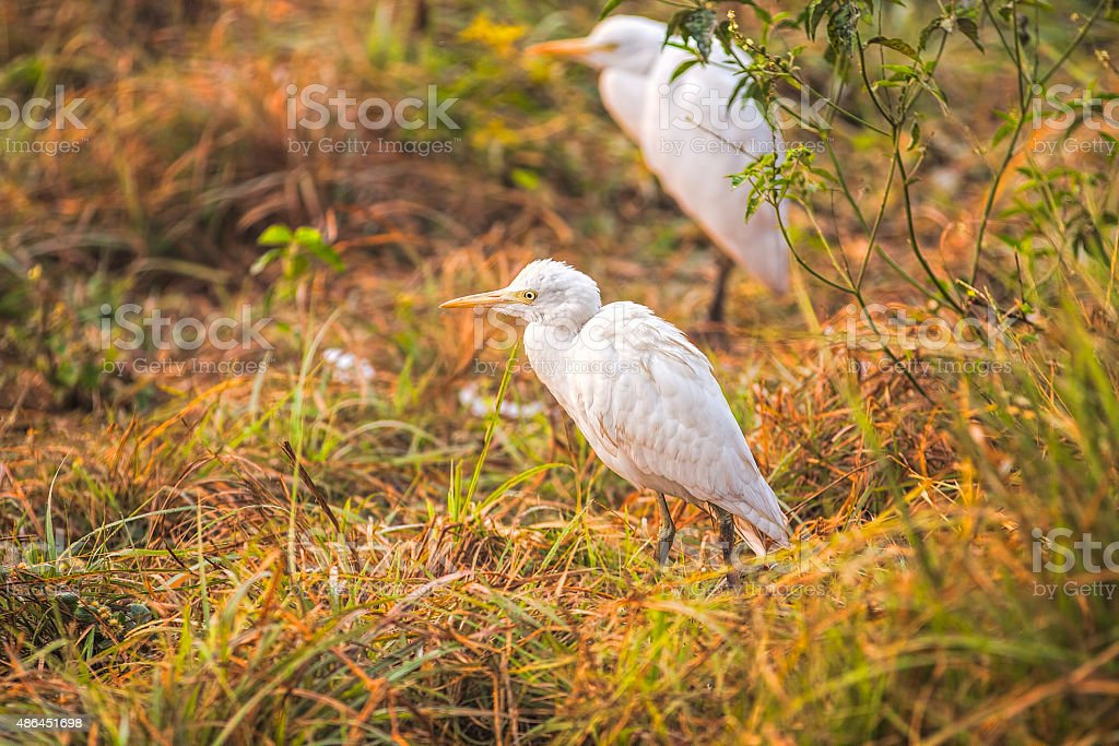 Cattle egrets walking through the grass near a pond. stock photo