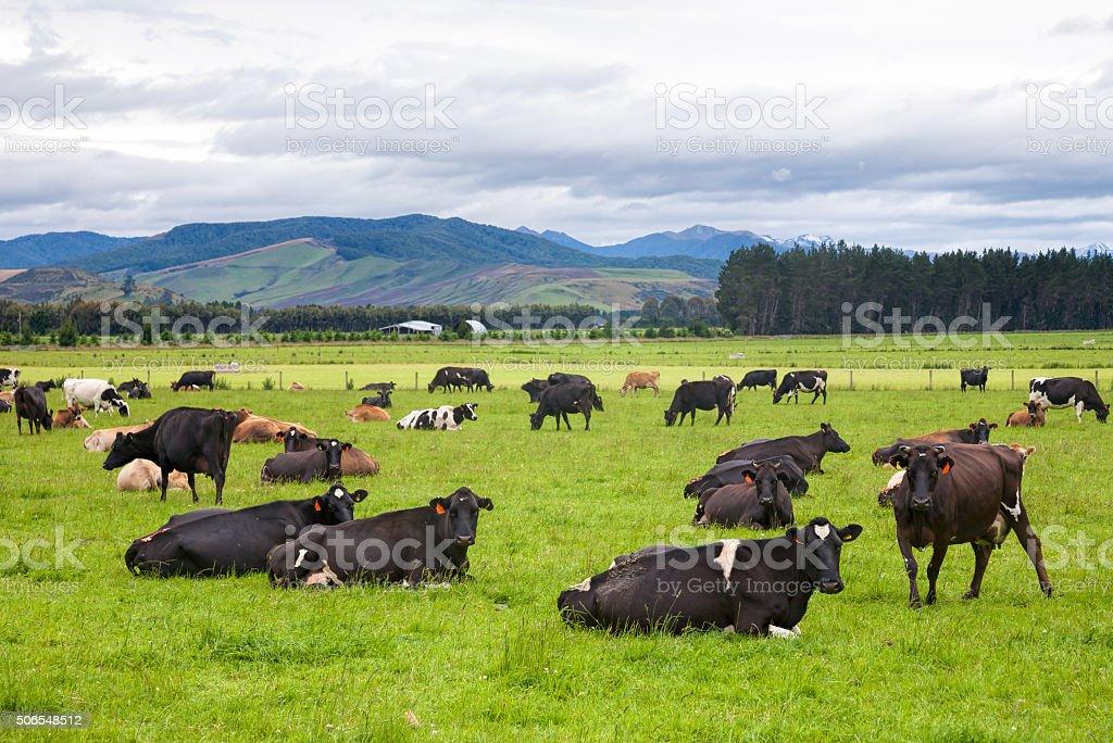 Cattle farm in New Zealand stock photo