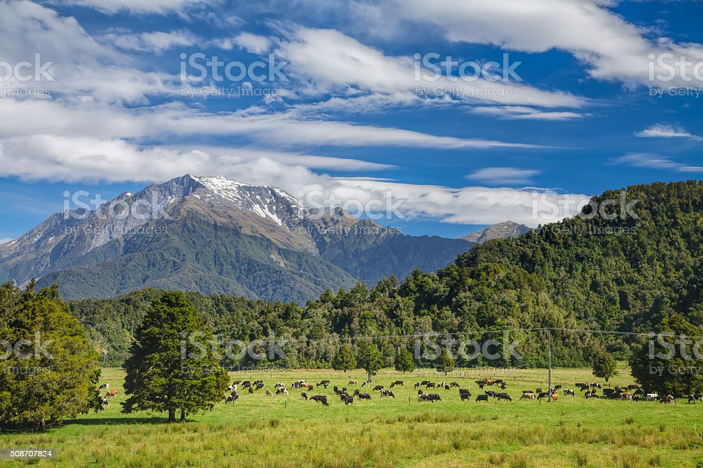 Cattle farm in New Zealand stock photo