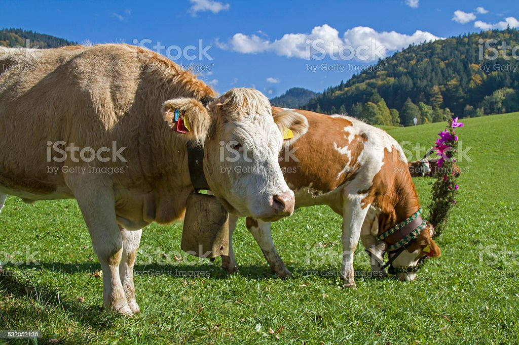 cattle go to valley stock photo