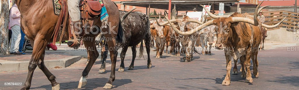Cattle going down street of Forth Worth Stockyards stock photo