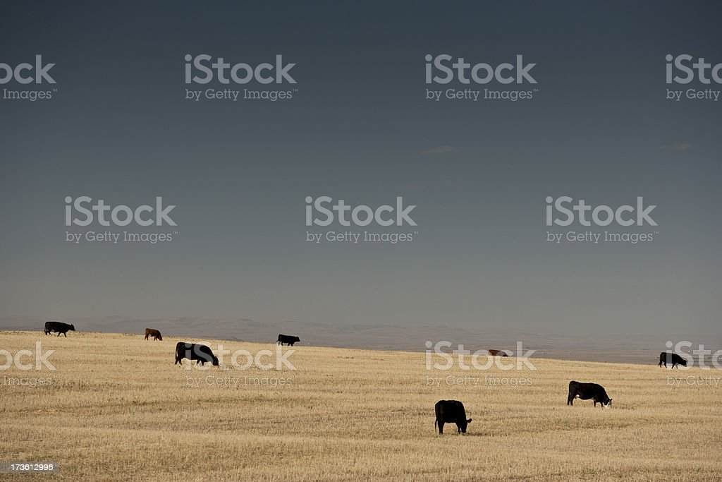 Cattle graze on the prairie royalty-free stock photo